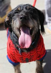 shelton-5924 (angelsrescue) Tags: aau pets angels among us pet rescue alpharetta ga dog love