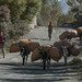 Muitas mulas que são usadas no transporte de pessoas e carga