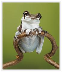 Milk Frog Clinging On