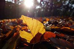 On the forest floor (brittajohansson) Tags: woods forest leaf leaves autumn colours sunrays sunshine trees beeches beechwood forestfloor