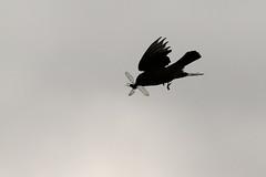 Tyrannus vociferans (Pablo Leautaud.) Tags: sanluistlaxialtemalco xochimilco mexico ciudaddemexico df cdmx naturaleza pleautaud aves avifauna bird amaranto amaranth tyrannusvociferans