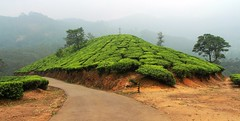 Tea plantation Munnar (vaibhav ambavale) Tags: munnar tea plantation