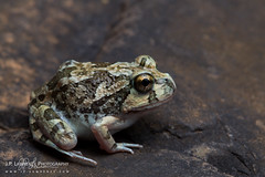 Centralian Burrowing Frog (J.P. Lawrence Photography) Tags: 2016 amphibians amphibia amphibian anura anuran australia australia2016 centralianburrowingfrog frog frogs herp herpetology herps limnodynastes limnodynastesspenceri myobatrachidae northernterritory platyplectrumspenceri salientia spencersburrowingfrog spring2016 travel vertebrates vertebrata vertebrate westmacdonnell westmacdonnellnationalpark