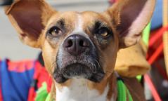 rogo-5730 (angelsrescue) Tags: aau pets angels among us pet rescue alpharetta ga dog love