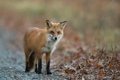 Red Fox (Carlos Carreras) Tags: redfox newjersey nature nj nwr wildlife greatswamp greatswampnationalwildliferefuge canon baskingridge
