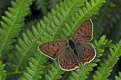 Lycaena tityrus - the Sooty Copper (male) (BugsAlive) Tags: butterfly butterflies mariposa papillon farfalla schmetterling бабочка animal outdoor insects insect lepidoptera macro nature lycaenidae lycaenatityrus sootycopper lycaeninae wildlife lozère parcnationaldescévennes montlozère liveinsects france