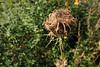 Wilde Möhre (Daucus carota) (06) (Rüdiger Stehn) Tags: blüte wildblume blume 2000er 2000s 2016 canoneos550d europa mitteleuropa deutschland germany norddeutschland schleswigholstein altenholz altenholzstift pflanze samenpflanzen nahaufnahme euasteriden doldenblütlerartige apiales doldenblütler apiaceae möhren daucus möhre daucuscarota wildemöhre