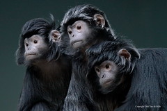 Amazed (DirkVandeVelde back) Tags: europa europ europe belgie belgium belgica belgique biologie binnen mammalia zoo zoogdieren antwerpen anvers antwerp animalia animal sony apen monkey apes singe fauna