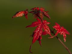 last leaves - Acer Palmatum - laatste blaadjes (de_frakke) Tags: acer esdoorn japanseesdoorn herfst autumn