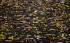 Leaves (Preston Ashton) Tags: leaf deck decking leaves prestonashton autumn wet