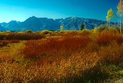 Autumn color at Willow Flat. Grand Teton National Park (spotwolf5) Tags: autumn grandtetonnationalpark tetonrange