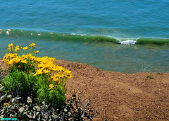 SpringBlooming (mcshots) Tags: usa california socal losangelescounty springtime flowers blooms floral coast surf waves ocean swells sea breakers combers beach nature water travel stock mcshots