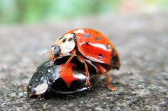 """ Getting Jiggy with it "" (seanwalsh4) Tags: ladybird mating sean walsh bristol gardenersfriend nature wild funny"