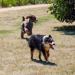 The romp (4) (geemuses) Tags: bayviewpark dogpark bayview monavale dogs dog canine walkingthedog exercise running sprinting playing sydney sydneyharbour northernbeaches