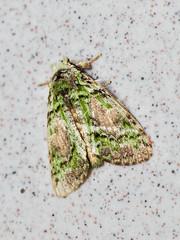 Somera viridifusca, Notodontidae Dicranurinae (Green Baron Pro) Tags: 200902 frasershill moth lep jelaibungalow notodontidae malaysia