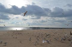 nikon/53 .. coney island birds (m_laRs_k) Tags: nikond7000 sooc coneyisland nyc bigapple newyork birds long island sea gulls