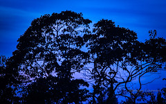Maple in Blue, or Night Sky (Lihoman...) Tags: lihoman cosina135mmf28mcmfcosinon blue tonight acer silhouette sky tree branches maple ahorn arce lerable acero