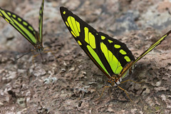 Puddling butterflies (Philaethria dido) (ggallice) Tags: butterfly mariposa brushfootedbutterfly scarcebamboopage didolongwing philaethriadido nymphalidae heliconiinae insect amazonrainforest rainforest entomology tiputinibiodiversitystation yasuninationalpark ecuador