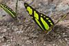 Puddling butterflies (Philaethria dido) (ggallice) Tags: butterfly mariposa brushfootedbutterfly scarcebamboopage didolongwing philaethriadido nymphalidae heliconiinae insect amazonrainforest rainforest entomology tiputinibiodiversitystation yasuninationalpark ecuador
