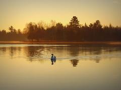 November swan at sunrise (yooperann) Tags: east bass lake upper peninsula michigan gwinn sunrise golden mute swan reflections