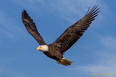 The Bald Eagle spreads its wings (danielusescanon) Tags: bird conowingo baldeagle haliaeetusleucocephalus accipitridae wild dam maryland bif flying birdperfect animalplanet