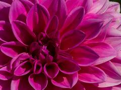 Pink beauty (++sepp++) Tags: garten natur graben bayern deutschland de blten blossom nature nahaufnahme closeup garden blte pink dahlia dahlie rosa blume flower pflanze plant makro macro doublefantasy