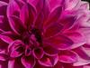 Pink beauty (++sepp++) Tags: garten natur graben bayern deutschland de blüten blossom nature nahaufnahme closeup garden blüte pink dahlia dahlie rosa blume flower pflanze plant makro macro doublefantasy