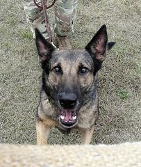 Anglų lietuvių žodynas. Žodis German Shepherd reiškia vokiečių aviganis lietuviškai.