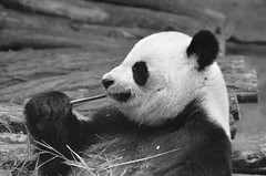 Panda's meal (dfromonteil) Tags: panda black white bw animal nature closeup noir blanc portrait bokeh eye oeil look regard wow