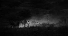 Going Home in Evening. (Padmanabhan Rangarajan) Tags: pushkar camels driving home india rajasthan rural dust evenings sunset camelherder camel