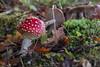 November Fly Agaric 2016 III (boettcher.photography) Tags: mushroom pilz natur nature november herbst autumn fall makro macro flyagaric fliegenpilz germany deutschland sashahasha boettcherphotography