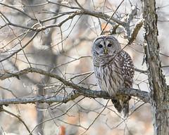 I don't give a hoot (jrlarson67) Tags: barred owl raptor bird wild wildlife animal tree portrait nikon d500