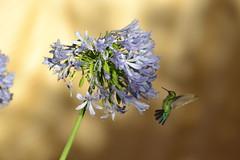 (Rodrigo Paganini) Tags: flor flower agapanto pássaro bird beijaflor natureza nature nikon d3100 70300mm planta plant sol sun