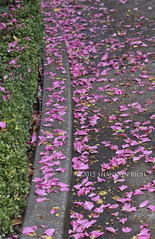 Pink Petals (Shannonlr79) Tags: calmness pink flowers petals afterrain fresh peace tranquil