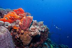 Reef_Bonaire_November 2016 C 33 (R13X) Tags: bonaire bonairediveandadventure underwaterphotography shorediving wideanglephotography reef coral sponge