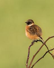 Stonechats (boogie1670) Tags: canon7dmarkii sigma 150600mm sports wildlife britishbirds birds yorkshire wild outdoors ngc stonechats