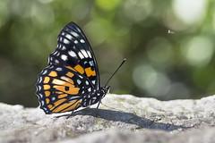 /  Sephisa chandra androdamas (Fruhstorfer, 1908) (Sam's Photography Life) Tags:          canon 1dx 1d 100mm nature butterfly sephisa chandra androdamas