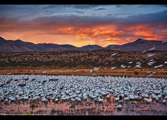 Another Perspective on Bosque del Apache (Sam Antonio Photography) Tags: bosquedelapache samantoniophotography nobody reserve wildlife animals nature outdoors dusk bosque gray lake majestic love grande del crane common dancing wing dawn watching feather mexico rio red river sandhill shore sea two pond national migrating bird new pair silver animal migration many mountains newmexico orange night inflight horizontal blastoff birds flock flying geese outside purple water unitedstates wild apache beak autumn twilight takeoff sky refuge snowgeese sunrise sunset beauty