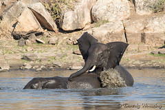 15-South_Africa-2016 (Beverly Houwing) Tags: africa drink elephant krugerpark phalaborwha southafrica wateringhole play scuffle wrestle