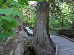 Mount Rainier National Park (Jasperdo) Tags: mountrainiernationalpark mountrainier nationalpark nationalparkservice nps washington pacificnorthwest cascademountains groveofthepatriarchsnaturetrail groveofthepatriarchs naturetrail forest landscape scenery