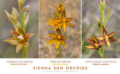 Sienna Sun Orchids (collectionselements) Tags: sienna sun orchid crystal brook star thelymitra