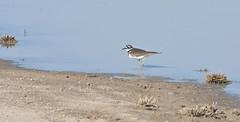 Killdeer (Charadrius vociferus); Wilcox, AZ, Twin Lakes [Lou Feltz] (deserttoad) Tags: wildlife nature arizona water lake desert plant bird wildbird shorebird killdeer reflection