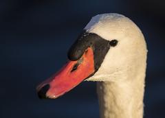 Mute Swan (Samuli Koukku) Tags: muteswan cygnusolor kyhmyjoutsen animal bird closeup dof portrait wildlife wild swan outdoor colorful finland canon 1dx2 ef600 nature