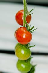 Soon to be ripe tomatos (Erlend Myhren) Tags: food flower norway fruit tomato norge vegetable growing ripe kjøkken grimstad gartneri hesnes nikond300s