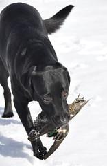 Emmi hakuhommissa (smerikal) Tags: winter black game bird labrador retriever talvi tavi lintu emmi musta labradorinnoutaja noutaja tealduck labbis riista jummijamminfayedunaway