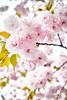 八重桜 (punipuki) Tags: street city flower nature japan tokyo spring sigma 桜 春 floralappreciation dp2s