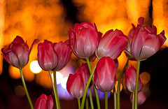 Night Tulips (Sue Ann Simon) Tags: pink flowers white blur nature windmill japan night outdoors lights spring nikon tulips bokeh 10 ngc  favs nagasaki huistenbosch    colourfulbokeh nikond3000 sueannsimon tulipsandbokeh