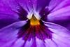 Purple Up Close (Djenzen) Tags: jeroen jansen djenzen flower bloem canon 40d