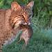 Bobcat with Prey