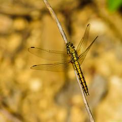 Black-tailed Skimmer (Kitschi_) Tags: macro dragonfly sony tamron libelle 70200 70200mm libellulidae blacktailedskimmer orthetrumcancellatum a700 segellibelle groserblaupfeil groslibelle
